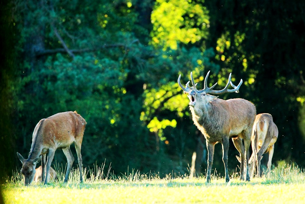 cerfs-parc-national-des-forets