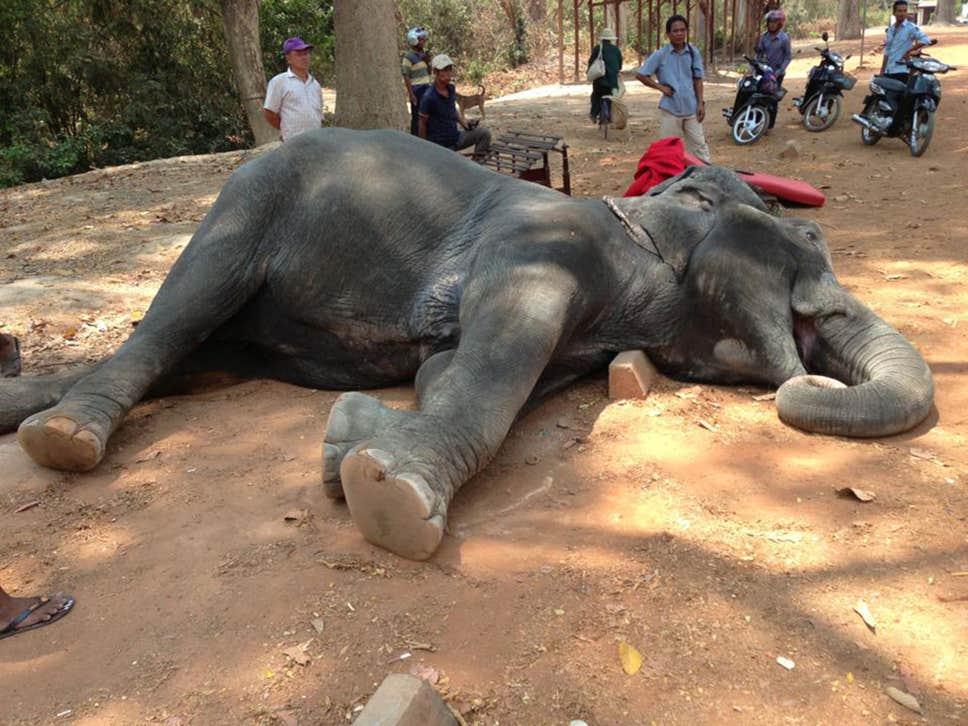 sambo-elephante-morte